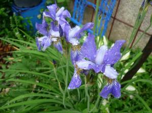 irisy po dešti