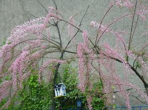 tamaryšek rozkvetl