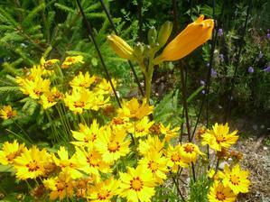 krásnoočko a žlutá denivka