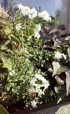 truhlíky ještě pěkně kvetou