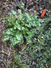 čerstvé listy áronu - bude je mít krásné svěží celou zimu