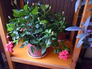 tento byl v práci na chodbě a byl hodně sříhanej - všimni si těch nasazených poupat ten kvetl stále a byl pěkně košatý