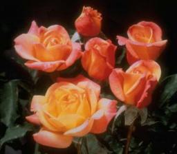 Růže pro maminky..