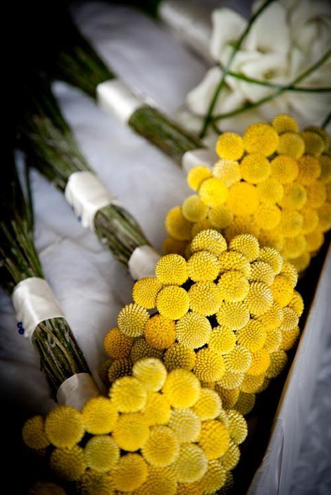 Kvety - craspedia