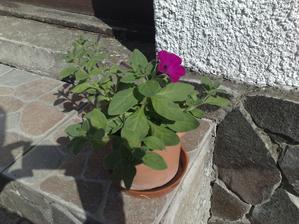 Toto nam vyrastlo zo semienka z minuleho roka. povodne boli kvety fialove s bielym oramovanim. ale mne s apaci aj takto :)