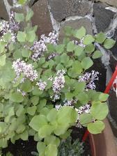 kvitnuci miniorgovan - ten ako vonaaaaaaal
