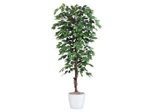 do rohu ku gaucu Ficus Benjamina Benjamina Moebelix 50eur