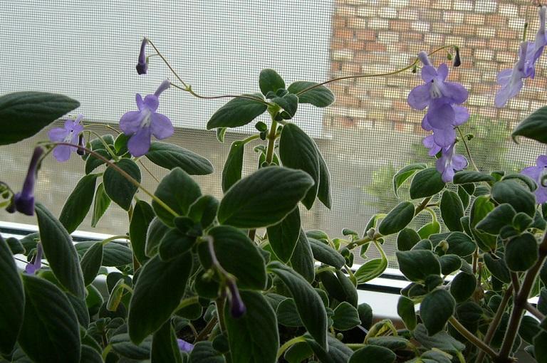 Konžská fialka/ Streptocarpella Saxorum/ - Obrázok č. 1