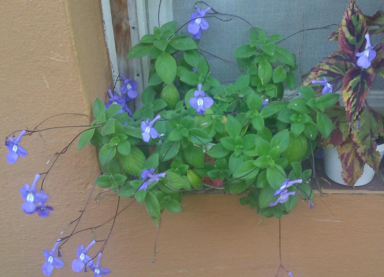 konžská fialka modrá - Obrázok č. 1