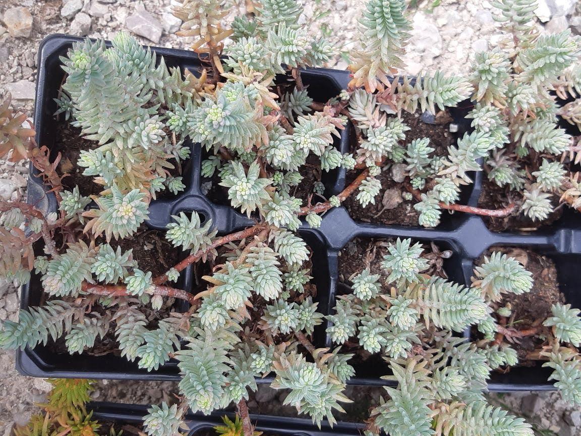 sedum reflexum-2 druhy - Obrázok č. 1