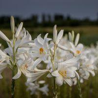 Ľalia biela liečivá - Lilium candidum -cibuľky - Obrázok č. 1