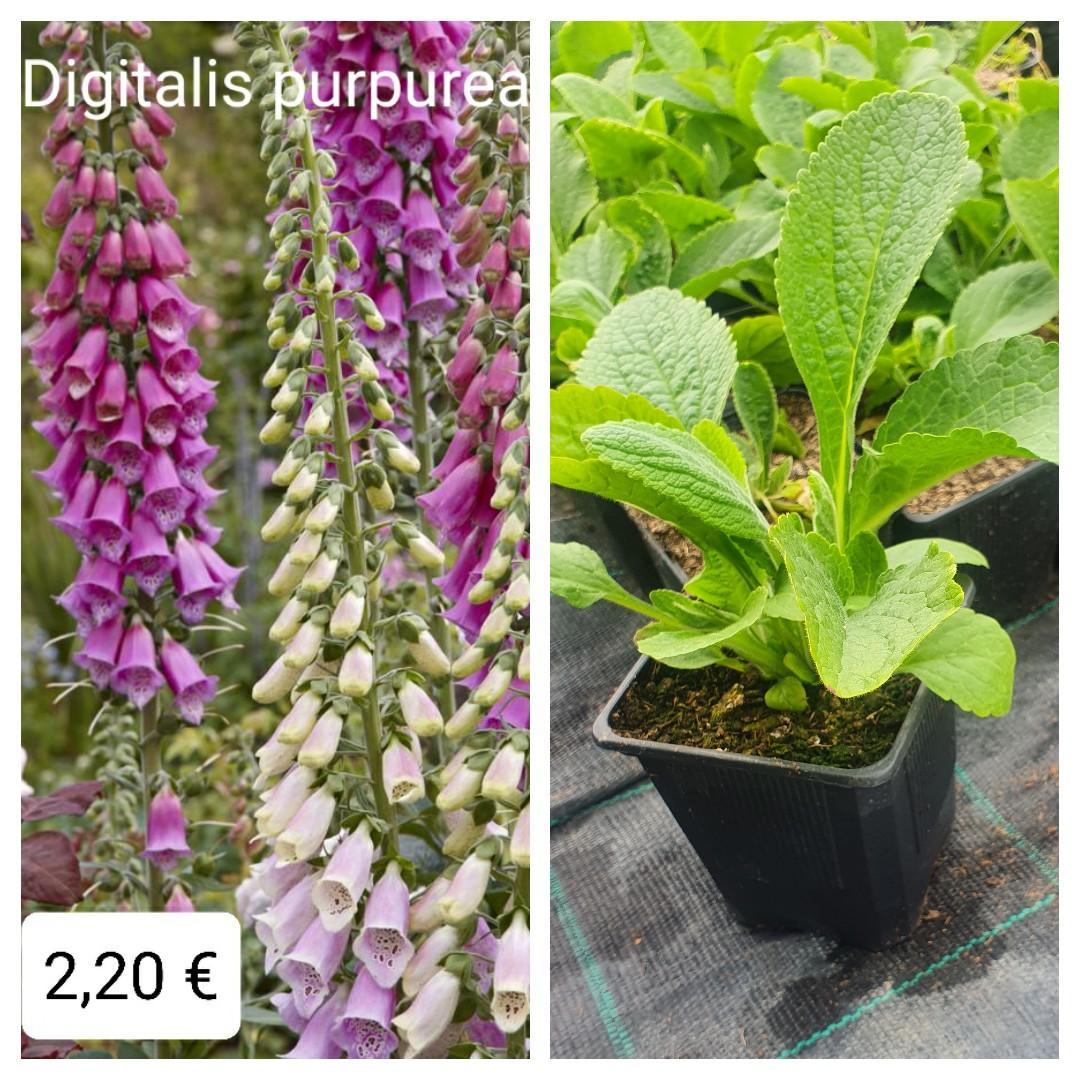 Náprsnik - Digitalis purpurea - Obrázok č. 1