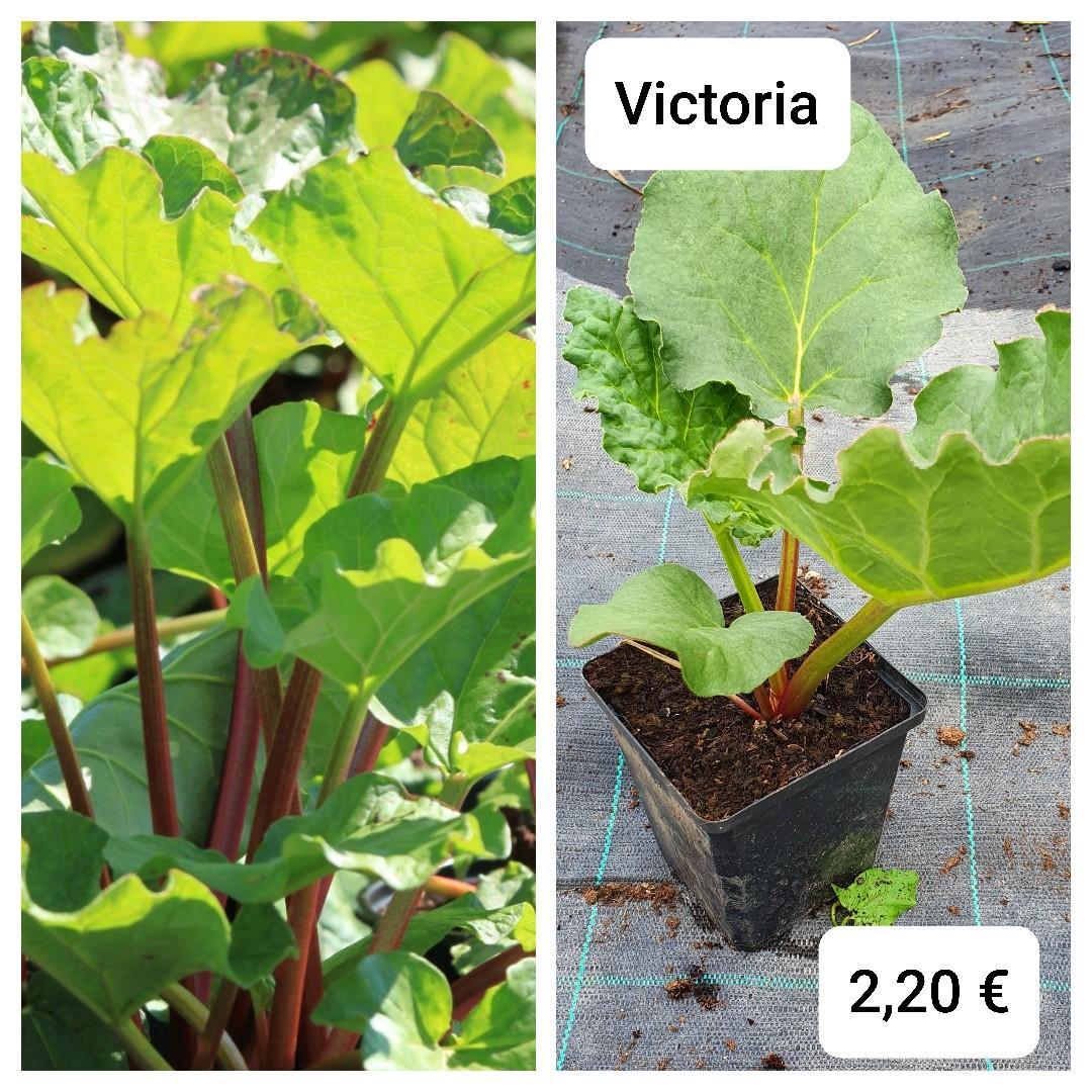 """Rebarbora """"Victoria"""" - rastliny v črepníku - Obrázok č. 1"""