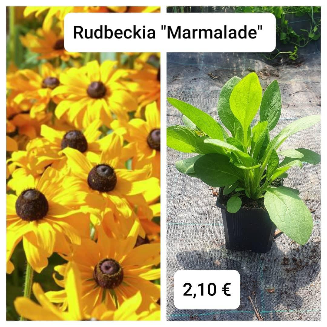 """Rudbeckia """"Marmalade"""" - Obrázok č. 1"""