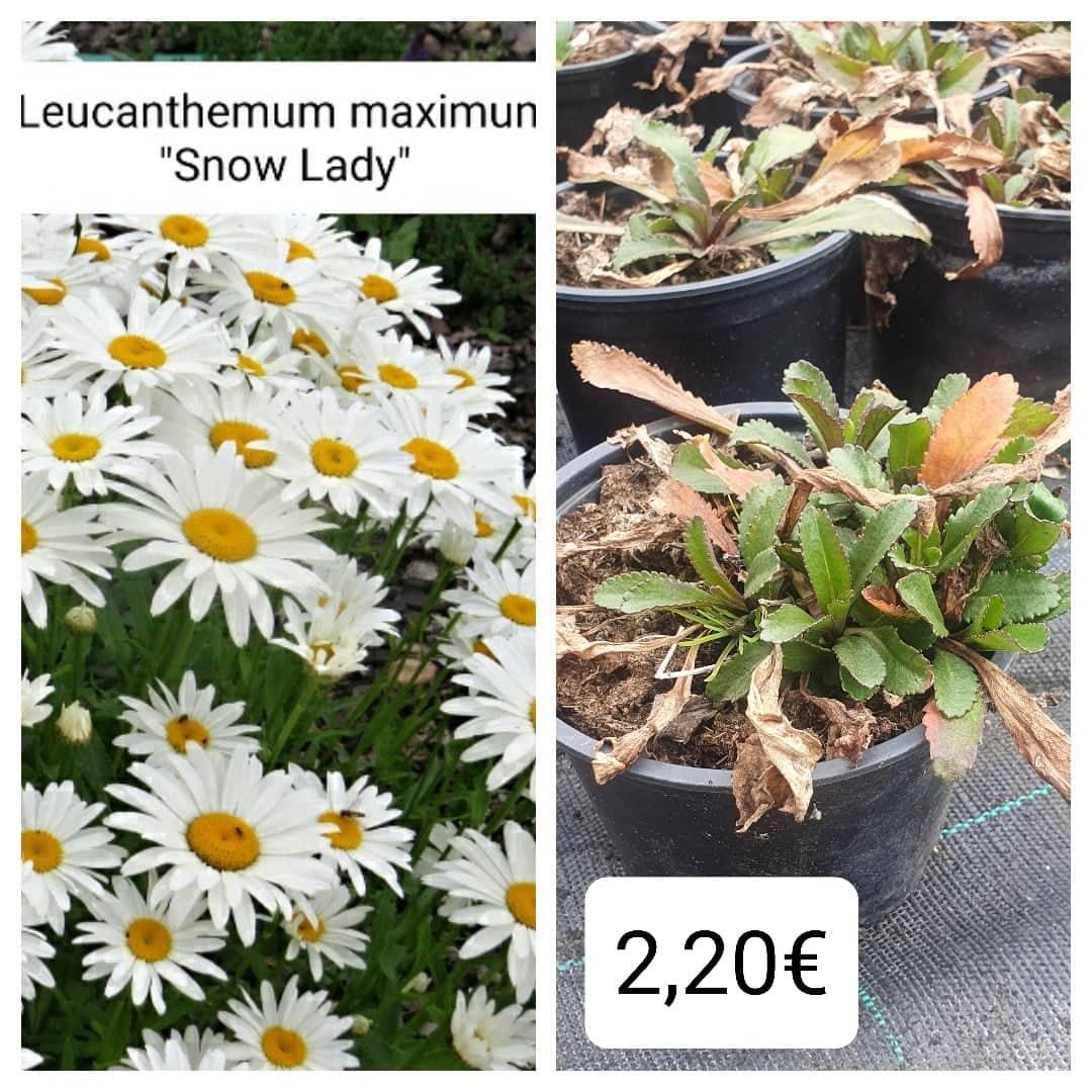 Leucanthemum - Margarétka - Obrázok č. 1