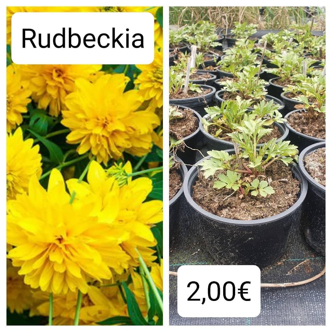 Rudbeckia laciniata - vysoká rudbeckia - Obrázok č. 1