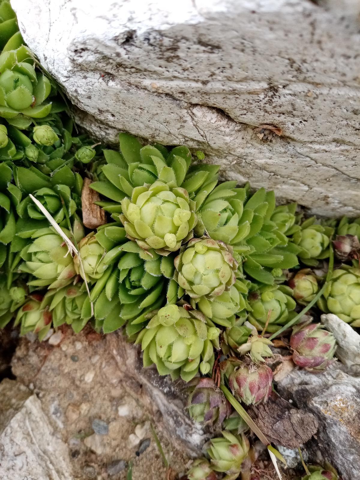 Skalné ruže - Obrázok č. 2