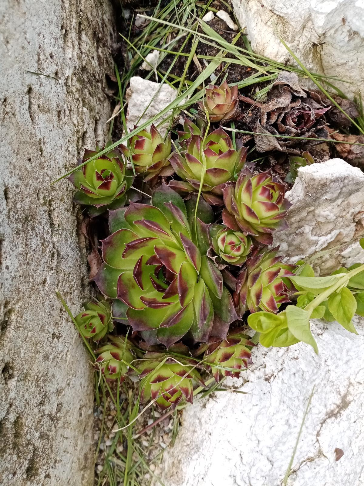 Skalné ruže - Obrázok č. 3
