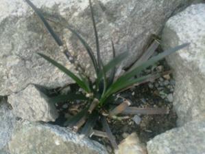 čierna tráva a aj bude kvitnúť to som zvedavá