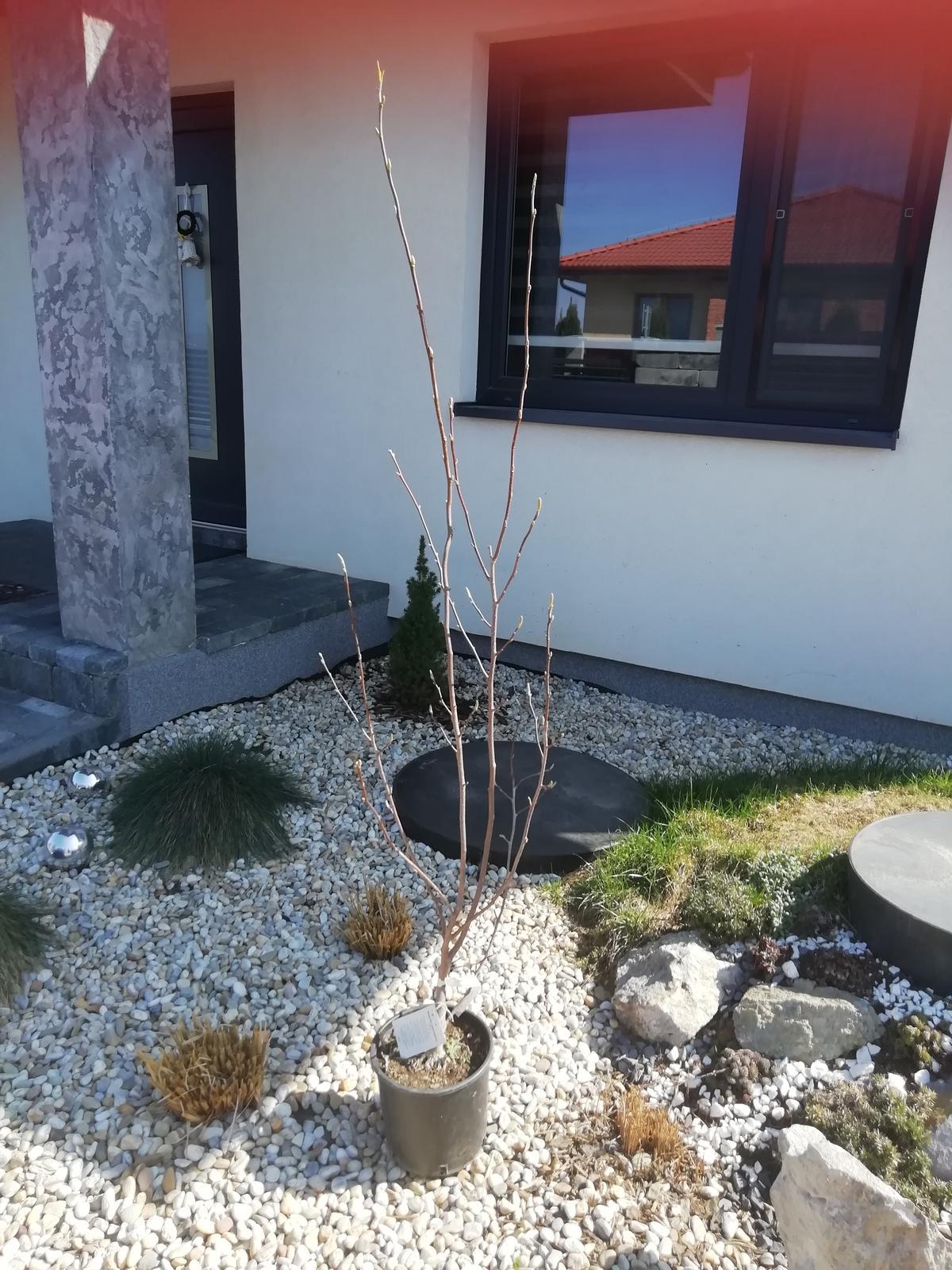 Záhradka 2019/20 bývame 4 a 5 rok :-) - Magnólia dnes kúpená