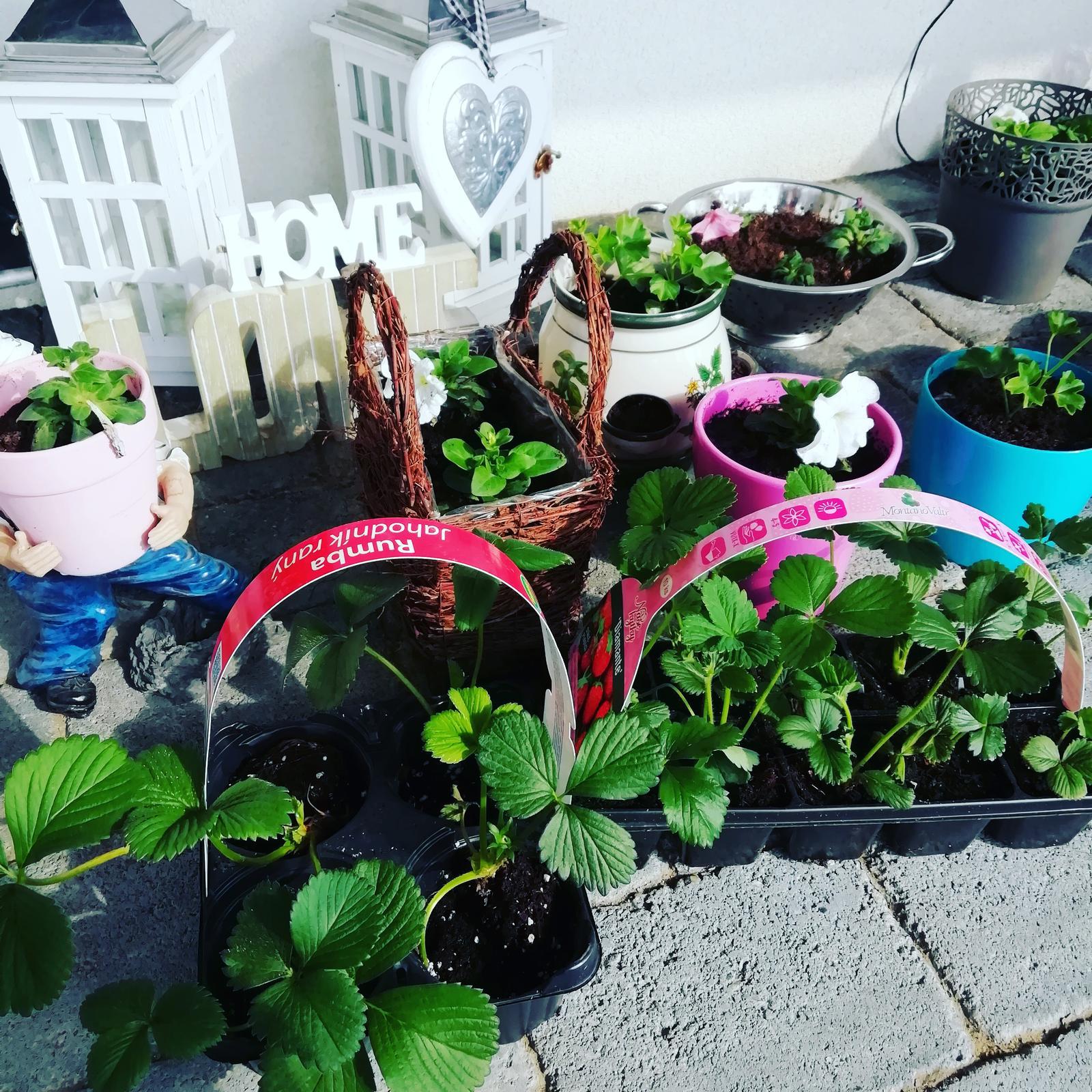 Záhradka 2019/20 bývame 4 a 5 rok :-) - Dnes sadím jahody 5.4.