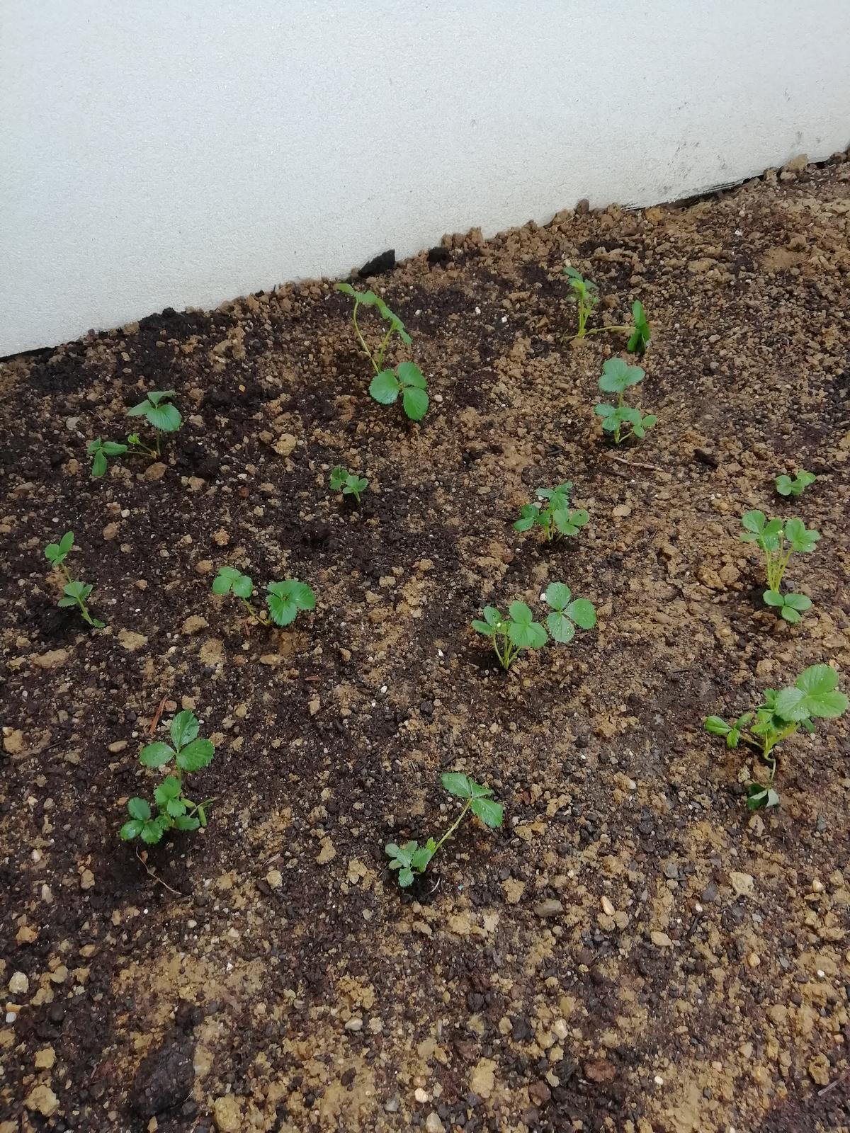 Záhradka 2019/20 bývame 4 a 5 rok :-) - Jahody na svojom mieste 🍓🍓🍓