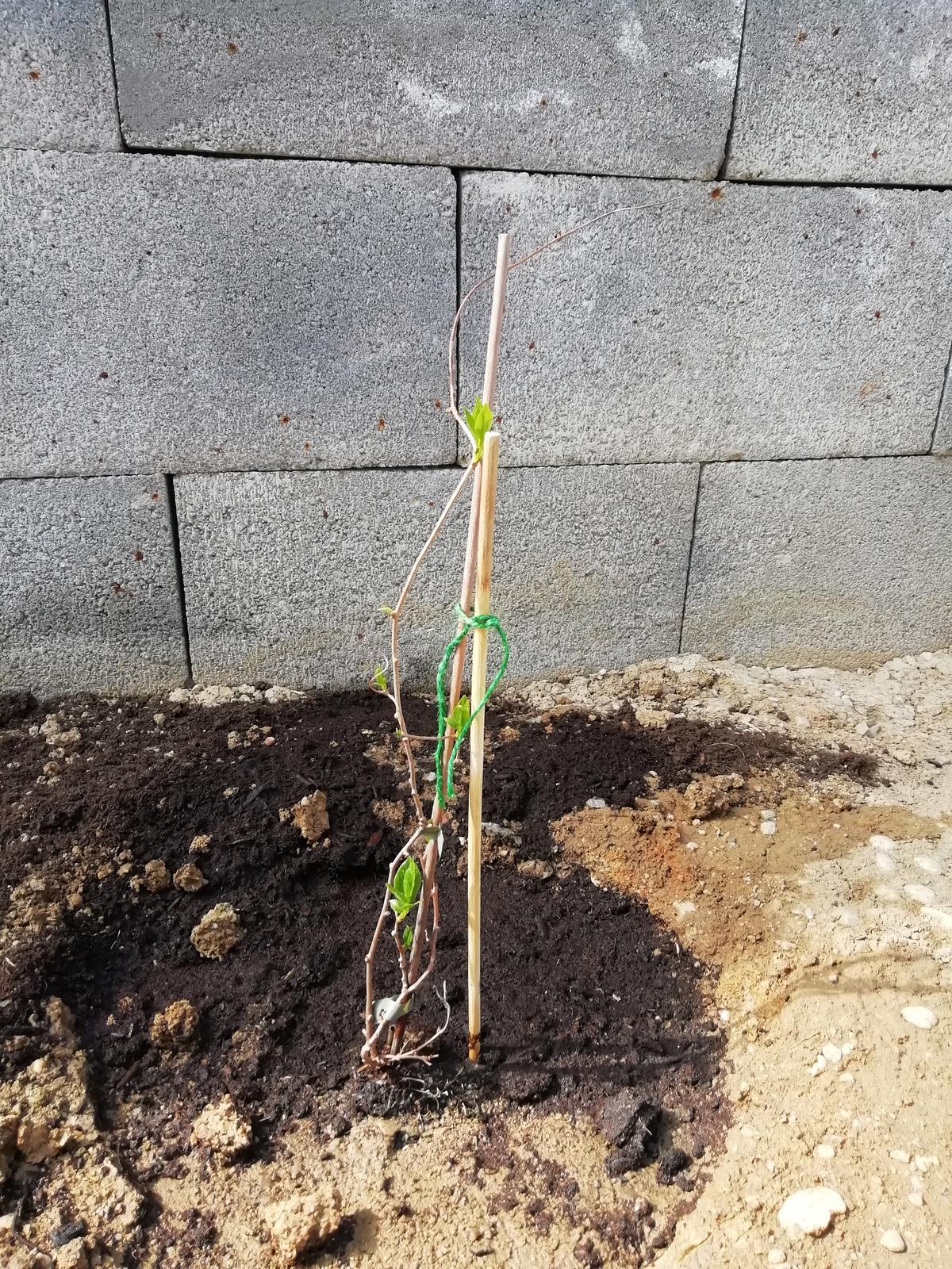 Záhradka 2019/20 bývame 4 a 5 rok :-) - Kiwi som sadila 1.4.