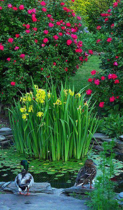 Len tak. Objavujem krásu kosatcov.🥰 Mohli by kvitnúť aj celé leto. Neviem, mam mini kosatce a kvitli krátko. 🤔 Ale sú nádherné. Ako dlho kvitnú nemecké? Sibírske mam zatiaľ biedne, ale suseda ma, zdá sa, že sú to sibírske a celkom dlho ma rozkvitnuté. 🤔 - Obrázok č. 9