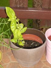 nejvytíženější bylinka v létě ;-) ...mozzarela, cherry rajčátka a bazalka ... MŇAM!;-)