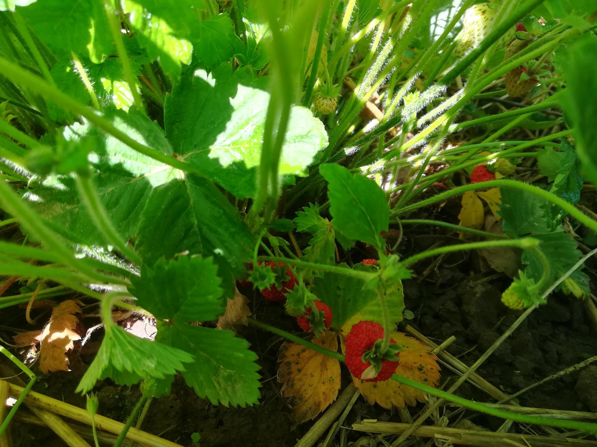 Žijeme vonku - Lesným jahodám sa darí 😍