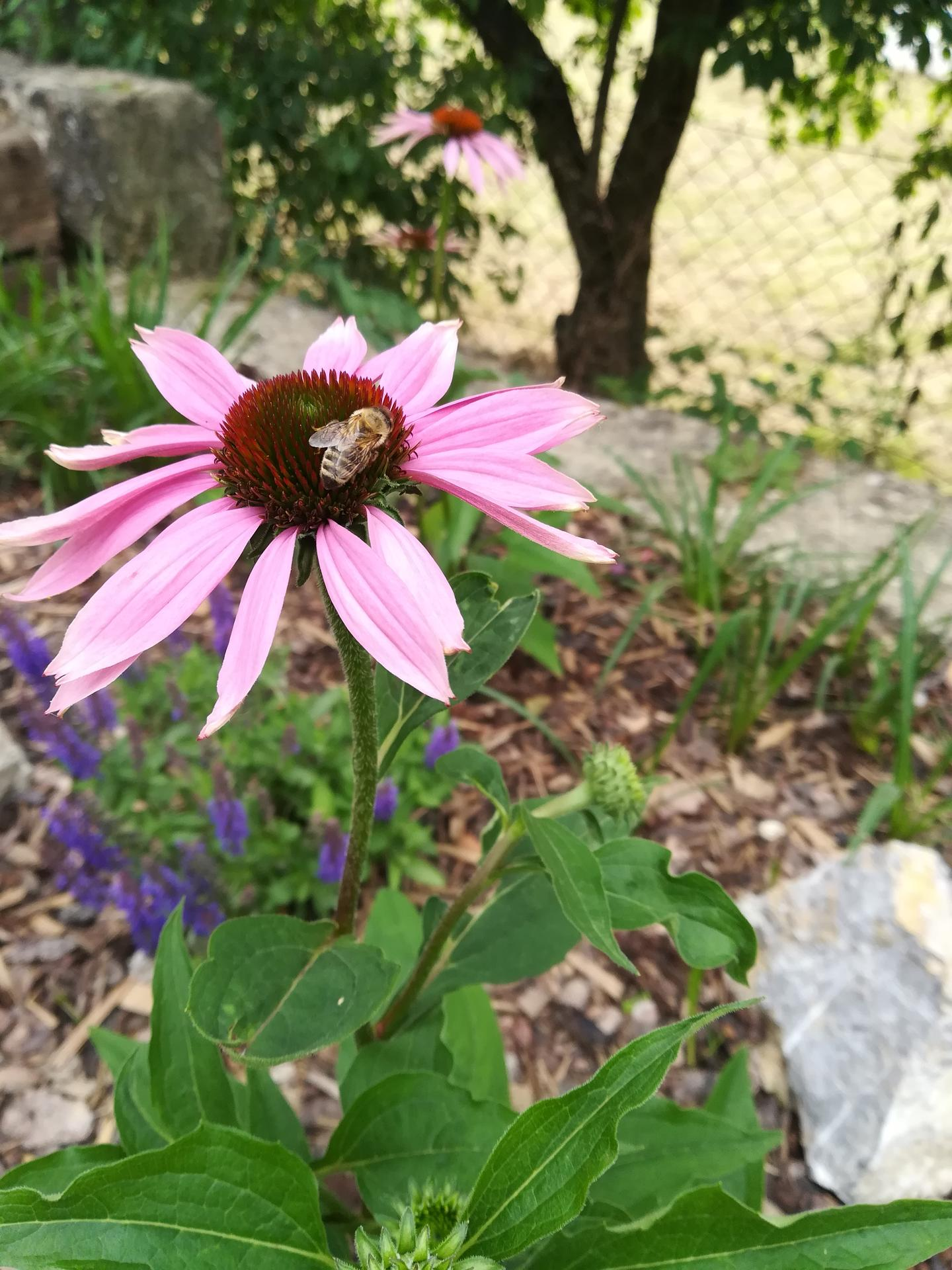 Žijeme vonku - Echinacea, ďalšia moja srdcovka 😍