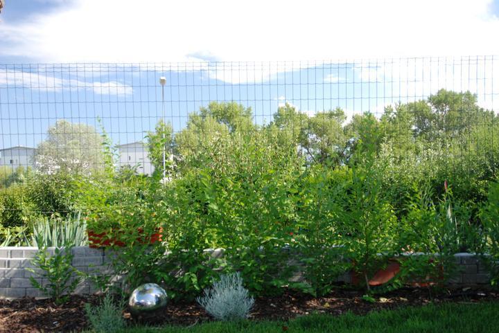 Záhradka - Rychlorastuci zivy plot z brestu.
