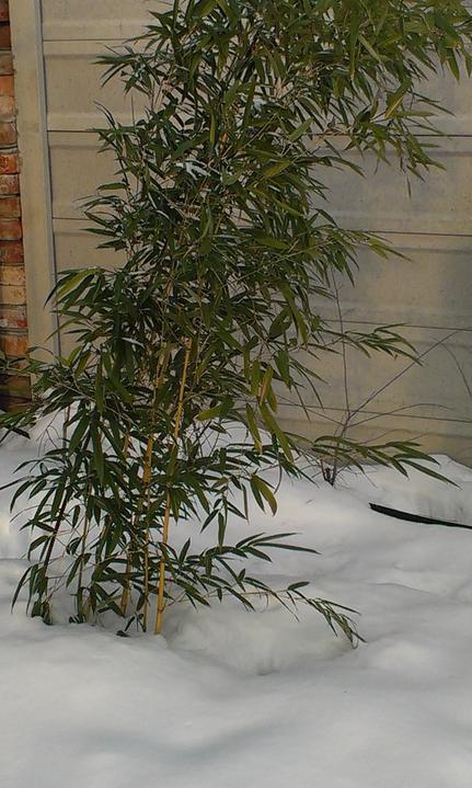 Záhradka - Bambus je stale krasne zeleny aj v zime. 1 rok po zasadeni. 4 stebielka.