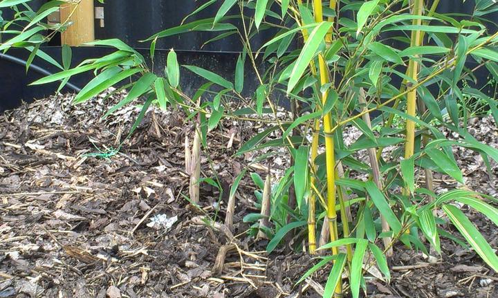 Záhradka - Bambusu rastu nove vyhonky. Strane sa tesim. Najprv len dva, ale dnes rano som ich naratala 15!
