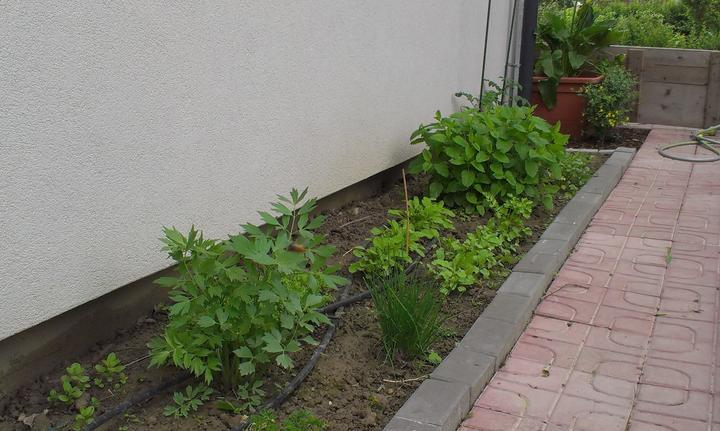 Záhradka - Bylinková záhradka - mäta, koriander, ligurcek, petrzlen, redkvicky, bazalka, oregano. salvia, citronova trava, pazitka...
