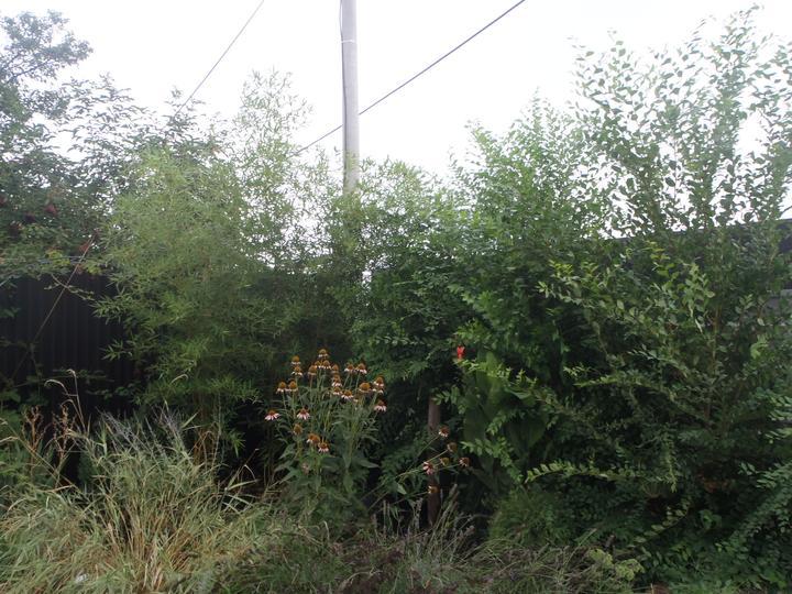 """Záhradka - Varovanie pre vsetkych. Toto na foto vpravo je """"zazracny"""" zivy plot. Za 1 rok narastol na takmer 4 metre. Zanedbane strihanie len cca 3 mesiace. Este na jar bol cca 50 cm nad zemou. Je to pliaga. Idem to dat prec."""