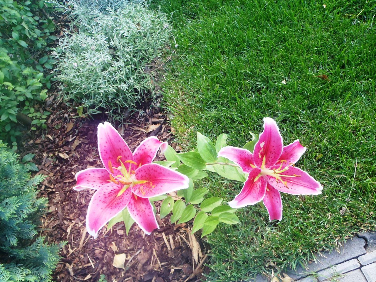 Záhradka - Ľalie z Lidla. Mama išla vyhodiť suchú cibuľku a ja som sa jej ujala.