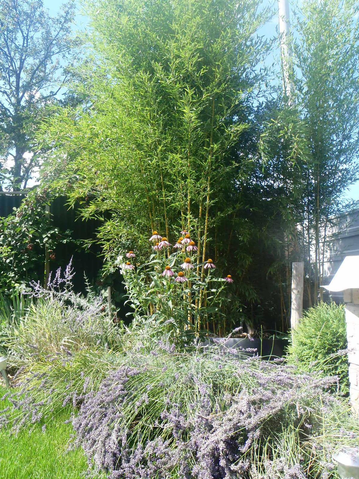 Záhradka - Bambus - 3. rok.