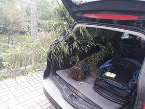 Bambus na ceste. 4 m babus som natrepala do auta a prepravila do CR. Plus jeden mensi a 3 ks stihlych tuji. A zmestil sa aj synator.
