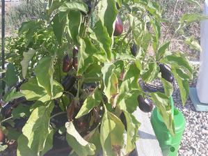 Extra uroda baklazanov. Na kricku je aj 15 plodov naraz.