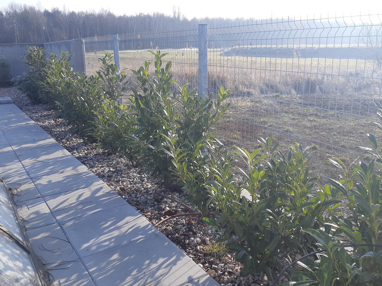 Záhrada - nekonečný príbeh - Vavrinovec - Caucasica. Celkom pekne rastie. Len musim zistit, kedy ho mam teraz na jar strihat, aby co najviac zahustol.