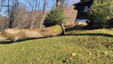 Zoschnutý 100 ročný strom musel íst dole