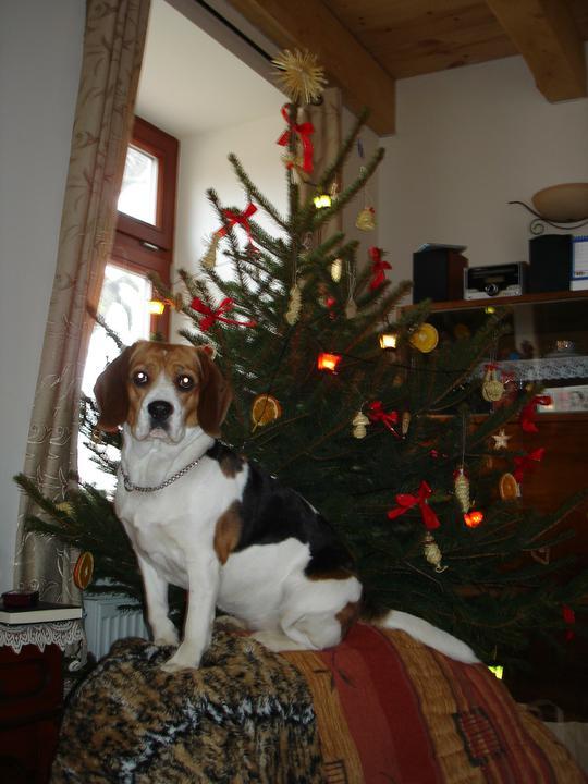 Vánoce již v novém - naše psice u stromečku