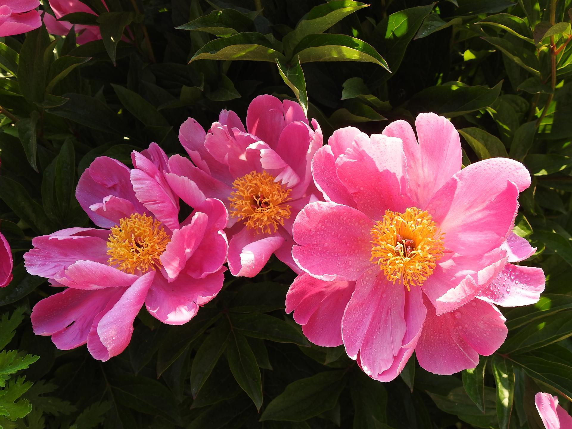 májový náhľad do záhrady - Obrázok č. 4