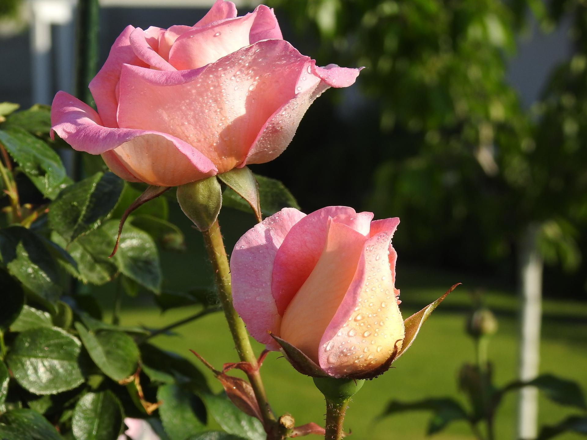 Júnové ruže, v tomto období sú najkrajšie. - Obrázok č. 1