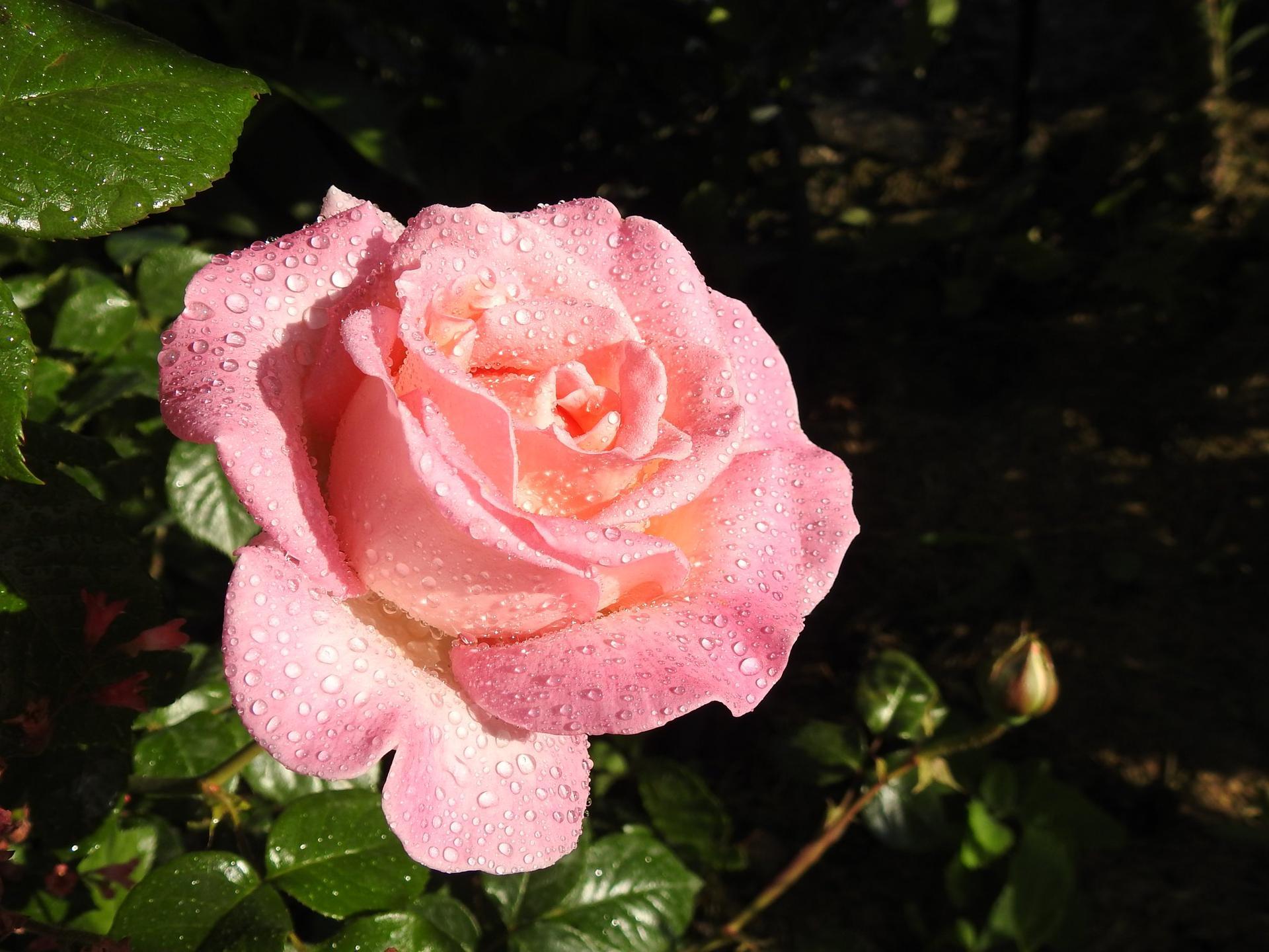 Júnové ruže, v tomto období sú najkrajšie. - Obrázok č. 2