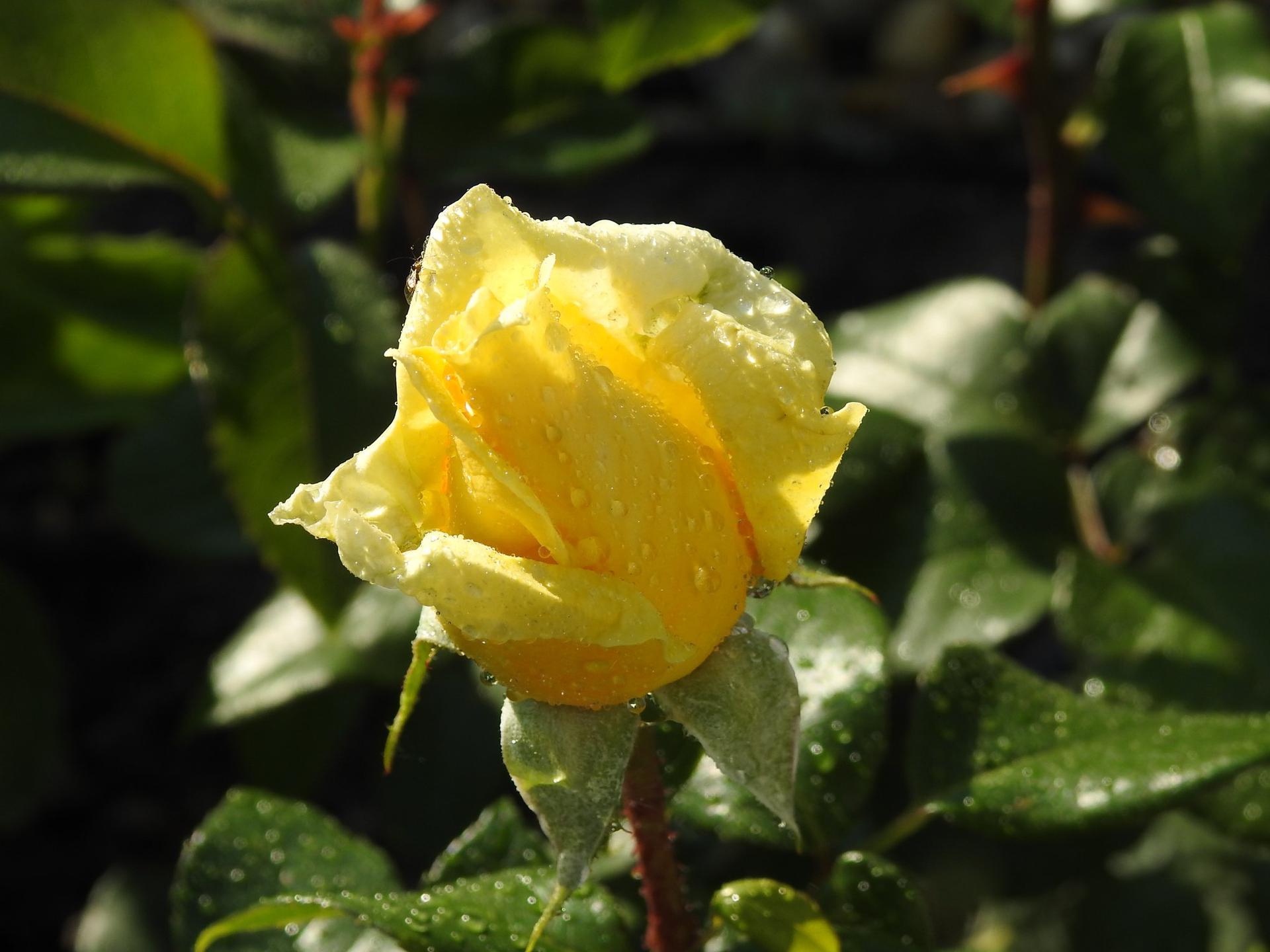 Júnové ruže, v tomto období sú najkrajšie. - Obrázok č. 4