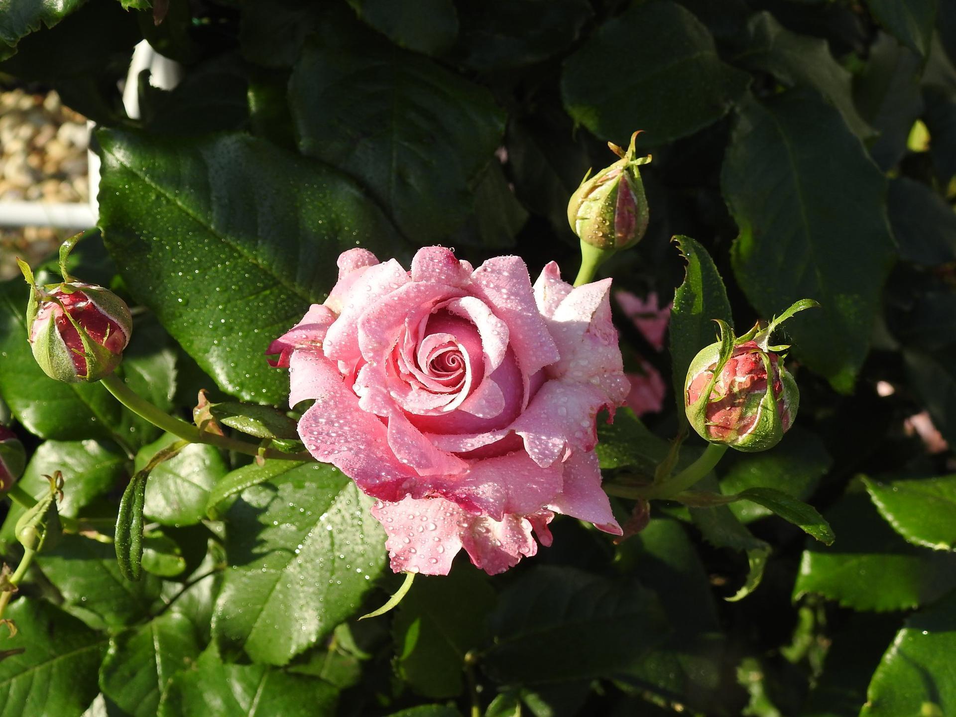 Júnové ruže, v tomto období sú najkrajšie. - Obrázok č. 5