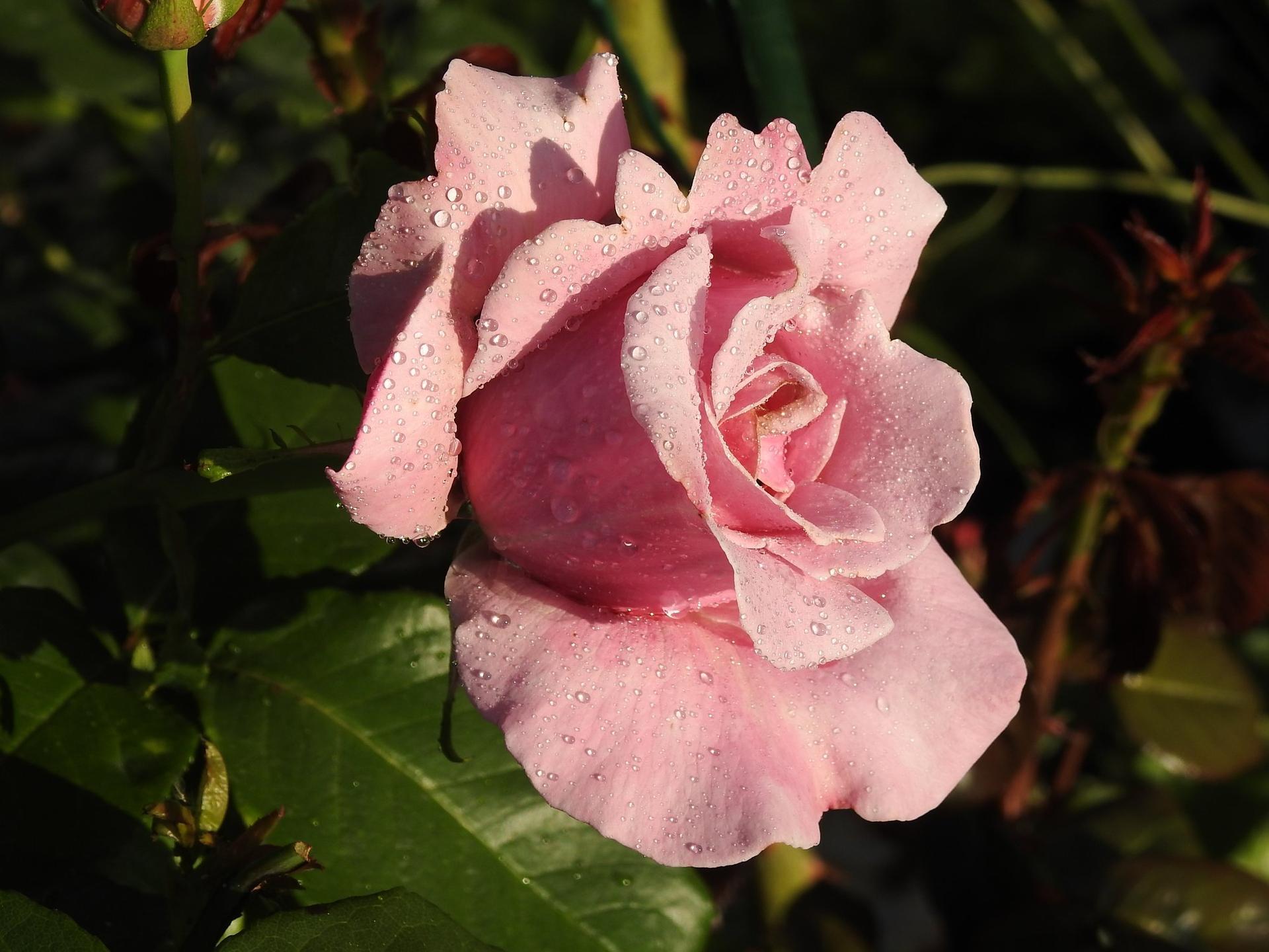 Júnové ruže, v tomto období sú najkrajšie. - Obrázok č. 6