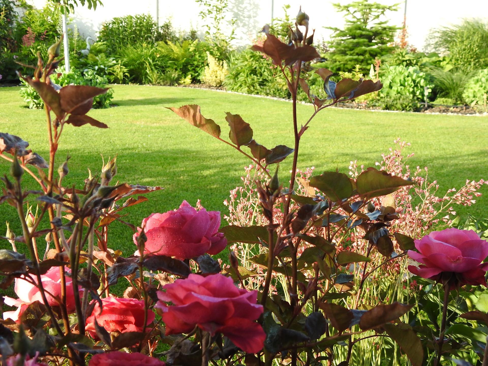 Júnové ruže, v tomto období sú najkrajšie. - Obrázok č. 7